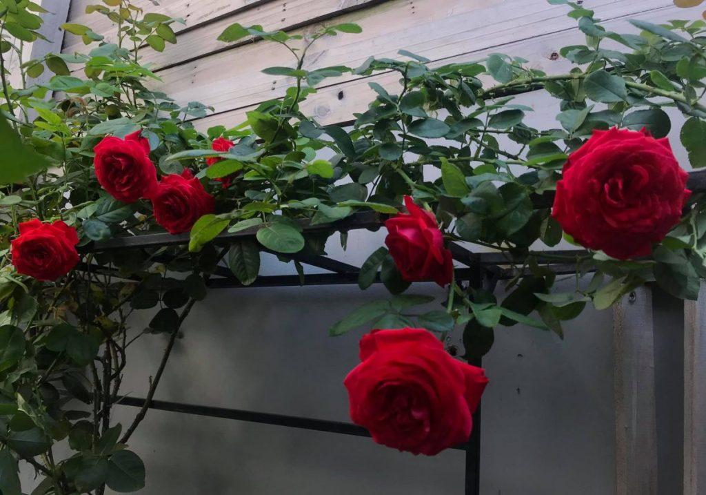 Chia sẻ cách chuẩn bị bầu đất trồng hoa hồng hiệu quả nhất