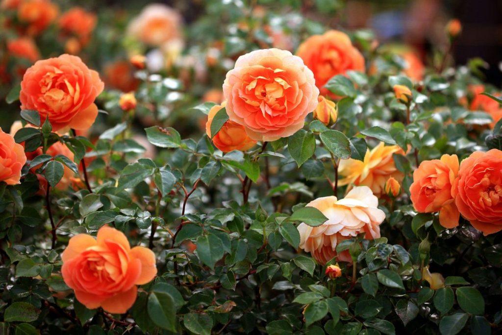 Hướng dẫn 4 bước chăm sóc hoa hồng vào mùa hè tốt nhất