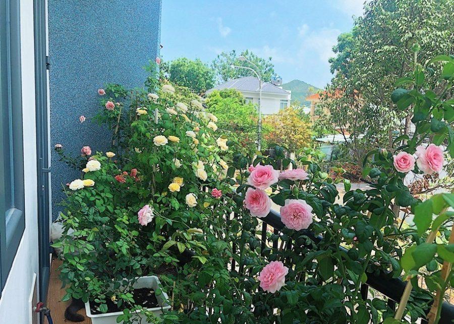 Hướng dẫn tự làm phân bón cho hoa hồng từ vật dụng nhà bếp