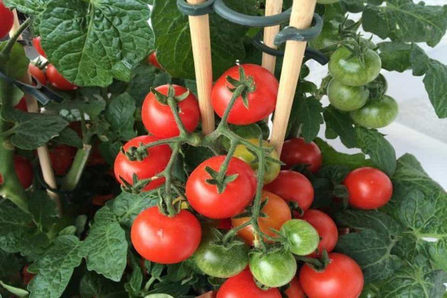Hướng dẫn trồng cà chua bằng thùng xốp tại nhà cực đơn giản