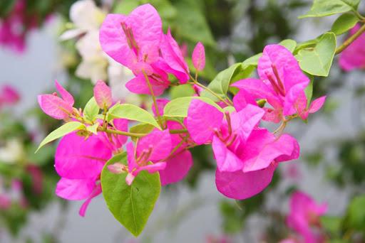 Bón phân trùn quế cho cây hoa giấy