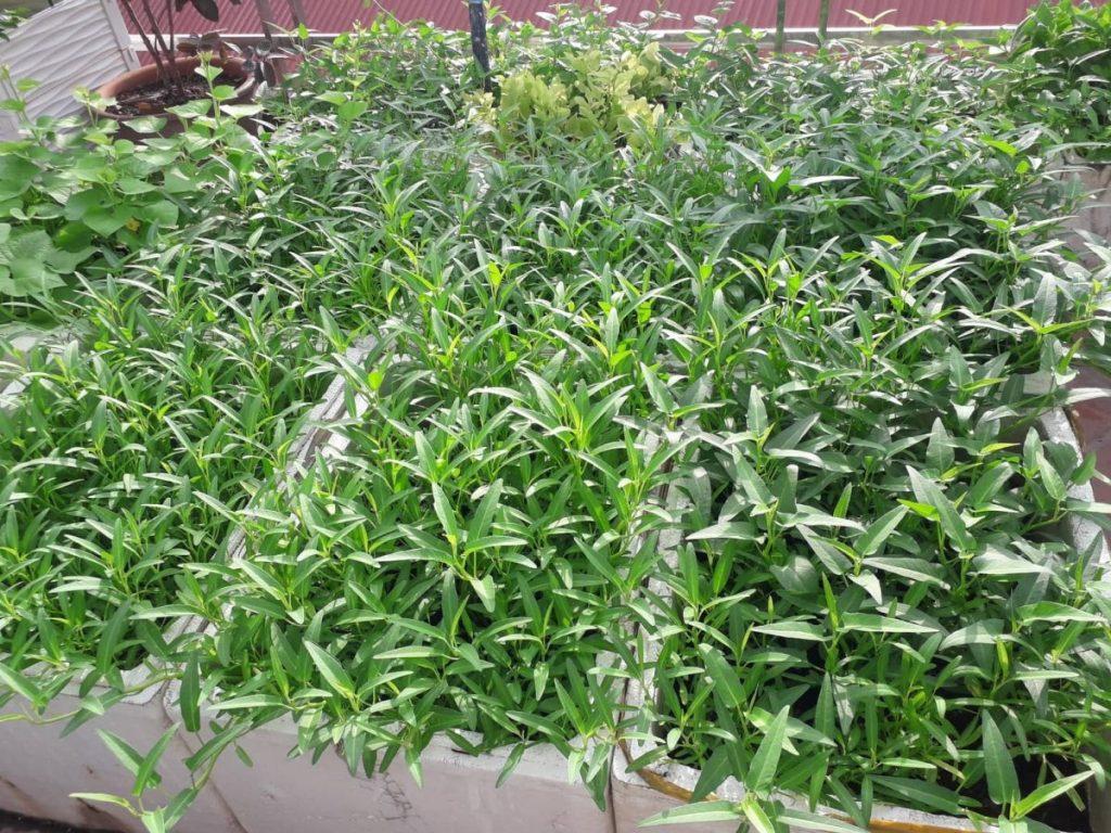 đất sạch trồng rau muống