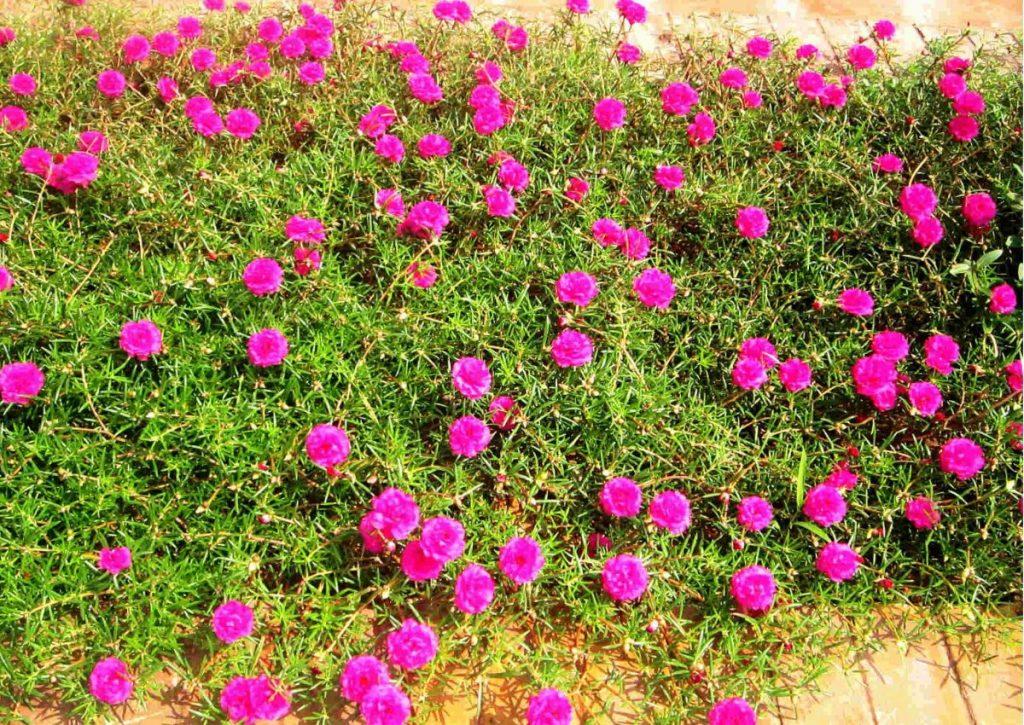 đá pumice trồng hoa mười giờ