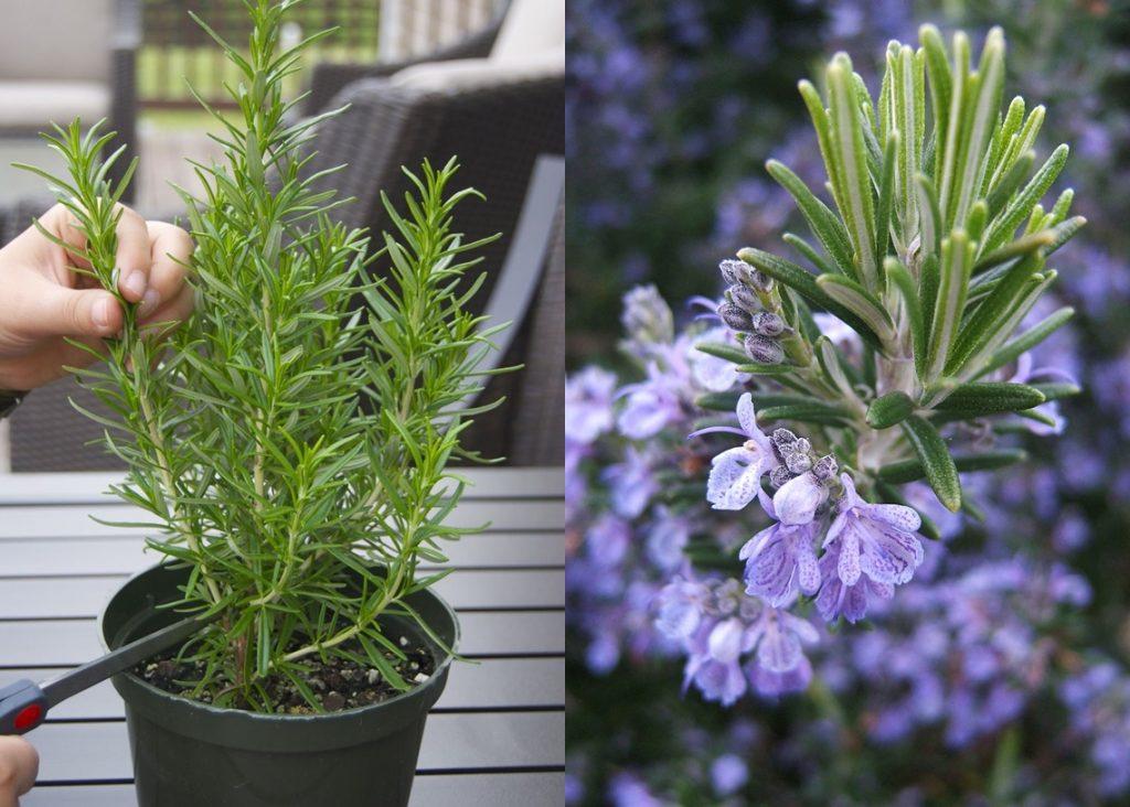đá Pumice trồng cây hương thảo