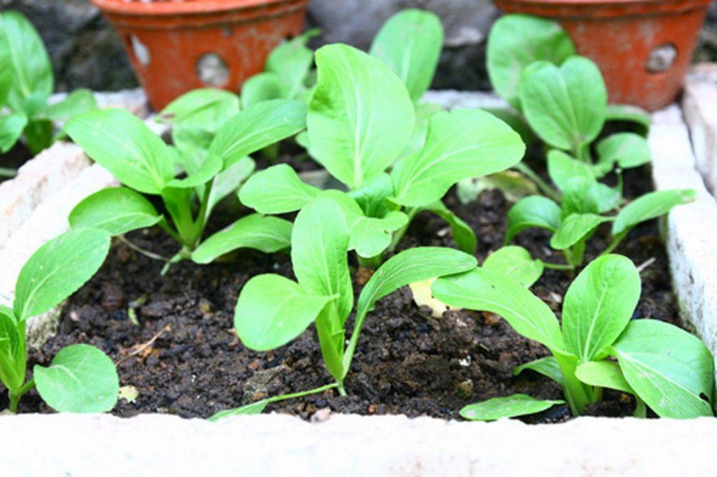 đất sạch trồng rau cải