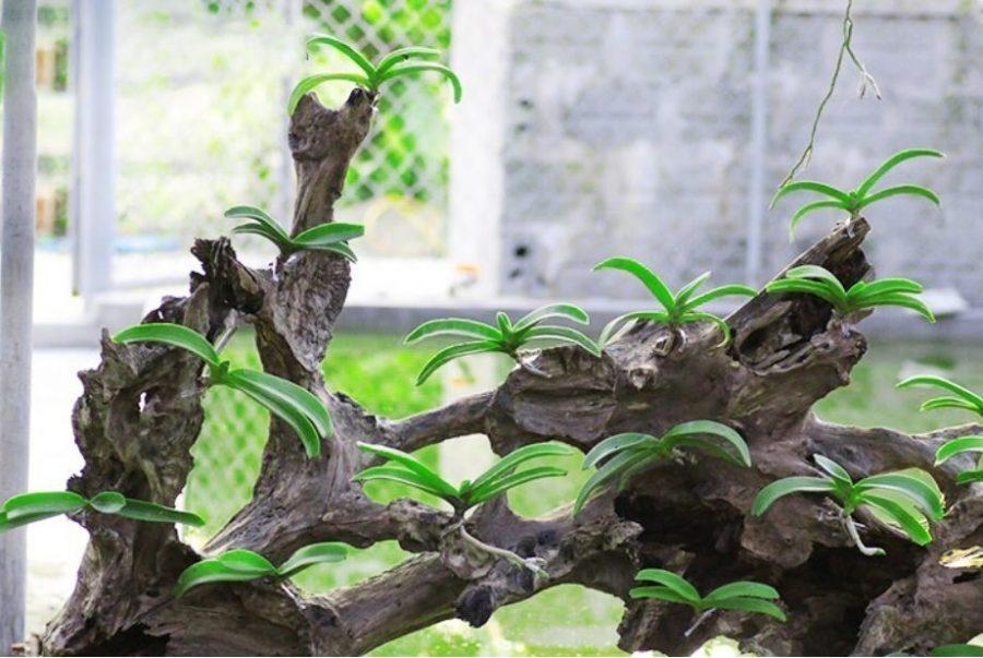 Công dụng của vỏ gỗ lũa trong giá thể trồng lan